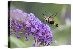 Snowberry Clearwing on Butterfly Bush, Illinois by Richard & Susan Day