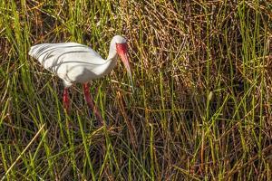 American White Ibis by Richard T. Nowitz
