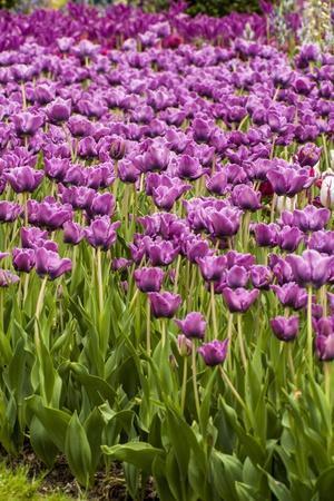 Bed of Purple Tulip Flowers