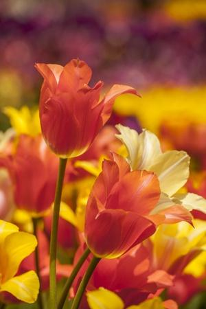 Tulip Flowers in Red and Yellow