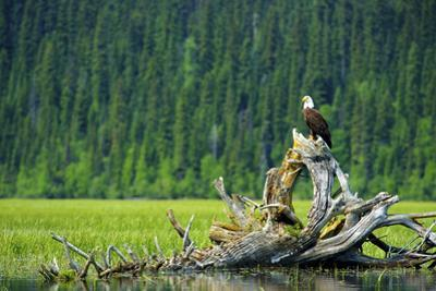 A Bald Eagle Perching on a Dead Tree Scans the Marsh of Bowron Lake by Richard Wright