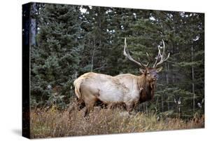 A Bull Elk Grazes, Rocky Mts, Jasper National Park, Canada by Richard Wright