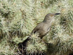 A Curve Billed Thrasher Nesting in a Cholla Cactus, Sonoran Desert by Richard Wright