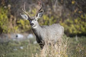 A mule deer buck at National Bison Range, Montana. by Richard Wright