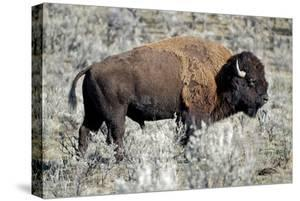 American Bison Graze in the Lamar Valley of Yellowstone National Park by Richard Wright