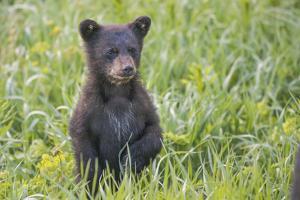 Black bear cub in spring. by Richard Wright