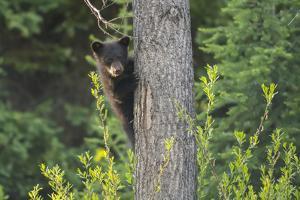 Black bear cub in tree by Richard Wright