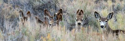 Ears. Mule Deer Does Hide in Tall Sage Brush in the High Desert