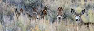 Ears. Mule Deer Does Hide in Tall Sage Brush in the High Desert by Richard Wright