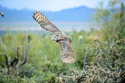 Great Horned Owl in Flight, also known as the Tiger Owl by Richard Wright
