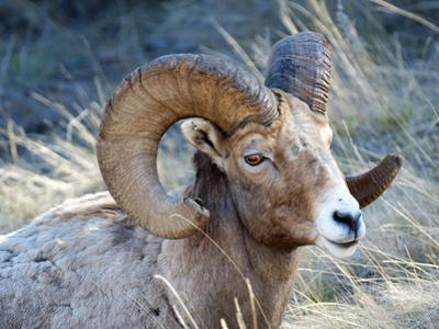 Rocky Mountain Bighorn Sheep, Ovis Canadensis Canadensis, B.C, Canada