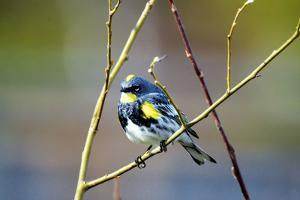 The Audubon's Warbler Is a Small New World Warbler by Richard Wright