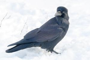 The common raven is a large all-black passerine bird found across the Northern Hemisphere. by Richard Wright