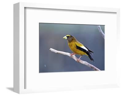 The Evening Grosbeak Is a Passerine Bird in the Finch Family Fringillidae