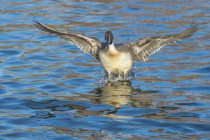 The northern pintail is a duck that breeds in the northern areas of Europe, Asia and North America. by Richard Wright