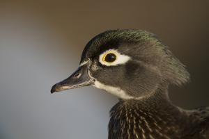 Wood duck female, close-up of head. by Richard Wright