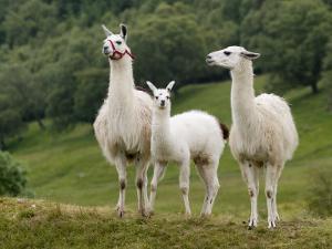 Llama Family by Richardson Rolf