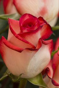 Close-up of rose. by Rick A Brown