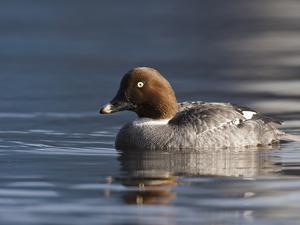 Common Goldeneye Hen, Vancouver, British Columbia, Canada by Rick A. Brown