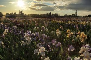 Iris Production Field at Sunset, Schreiner's Iris Gardens, Keizer, Oregon, USA by Rick A. Brown