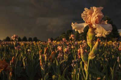 Iris Production Field at Sunset, Schreiner's Iris Gardens, Keizer, Oregon, USA