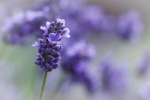 Lavender in the Backyard, Keizer, Oregon, USA by Rick A Brown
