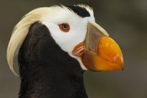 Tufted Puffin Bird, Oregon Coast Aquarium, Newport, Oregon, USA by Rick A. Brown