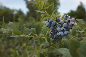 USA, Oregon, Blueberries on the Bush by Rick A. Brown