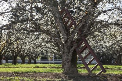 USA, Oregon, Hood River Valley, a Ladder in a Tree in an Orchard