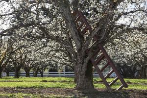 USA, Oregon, Hood River Valley, a Ladder in a Tree in an Orchard by Rick A Brown