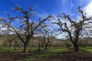 USA, Oregon, Hood River Valley, an Orchard by Rick A Brown