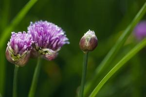 USA, Oregon, Keizer, Chives in Backyard by Rick A. Brown