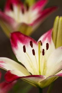 USA, Oregon, Keizer, Cultivated Day Lily by Rick A. Brown
