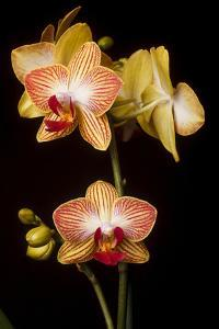USA, Oregon, Keizer, Cultivated Orchid by Rick A Brown