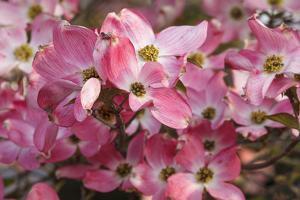 USA, Oregon, Keizer, Flowering Dogwood in Neighborhood by Rick A. Brown