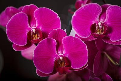 USA, Oregon, Keizer, Hybrid Orchid
