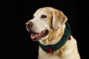 USA, Oregon, Keizer, Labrador Retriever in Her Christmas Collar, Pr by Rick A. Brown