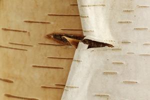 USA, Oregon, Keizer, Peeling Bark on a Paper Birch by Rick A. Brown