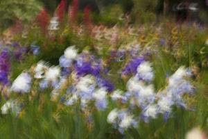 Usa, Oregon, Keizer Schreiner's Iris Garden, abstract of iris and garden. by Rick A Brown