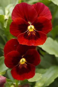 Usa, Oregon, Keizer Schreiner's Iris Garden, pansy. by Rick A Brown
