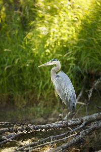 USA, Washington State, Ridgefield NWR, Great Blue Heron. by Rick A. Brown