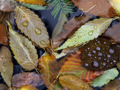 Autumn Leaves Float in a Pond at the Japanese Garden of Portland, Oregon, Tuesday, October 24, 2006 by Rick Bowmer