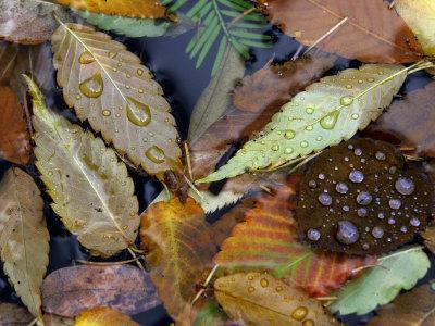 Autumn Leaves Float in a Pond at the Japanese Garden of Portland, Oregon, Tuesday, October 24, 2006