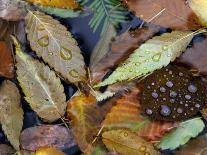 Autumn Leaves Float in a Pond at the Japanese Garden of Portland, Oregon, Tuesday, October 24, 2006-Rick Bowmer-Photographic Print