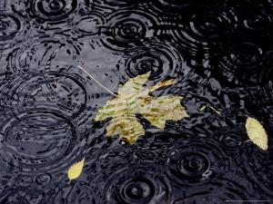 Floating Autumn Leaves are Seen in a Koi Pond by Rick Bowmer