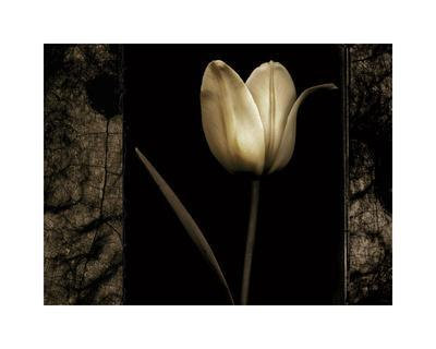 White Tulipa I