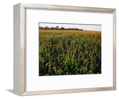 Field of Corn Near Aberdeen, Aberdeen, USA