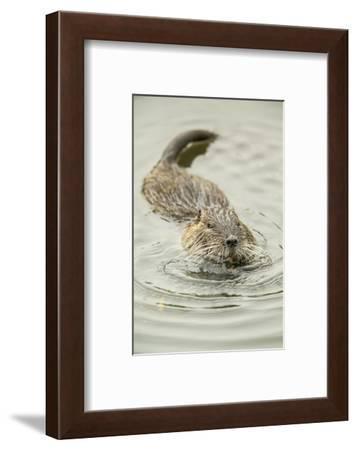 Ridgefield, WA. Nutria swimming in Ridgefield National Wildlife Refuge. Coypu-Janet Horton-Framed Photographic Print