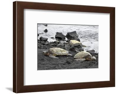 Ridleys Sea Turtles on black sand beach, Big Island, Hawaii-Gayle Harper-Framed Photographic Print