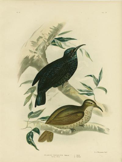 Rifle-Bird, 1891-Gracius Broinowski-Giclee Print